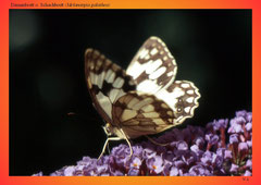 Damenbrett o. Schachbrett (Melanargia galathea)