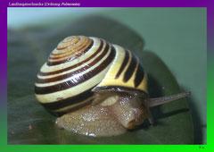Landlungenschnecke (Ordnung Pulmonata)