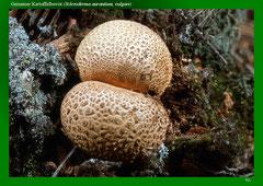 Gemeiner Kartoffelbovist (Scleroderma aurantium, vulgare)