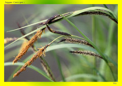 Seggen (Carex spec.)