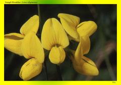Sumpf-Hornklee (Lotus uliginosus)