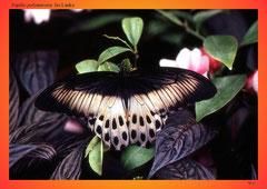 Papilio polymnestor, Sri Lanka