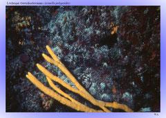 Löchriger Geweihschwamm (Axinella polypoides)