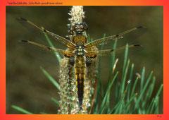 Vierflecklibelle (Libellula quadrimaculata)