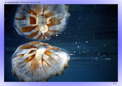 Kompaßqualle (Chrysaora hysoscella)