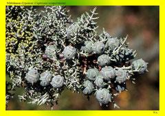 Mittelmeer-Zypresse (Cupressus sempervirens)