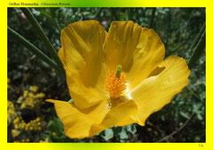 Gelber Hornmohn (Glaucium flavum)