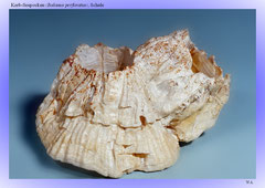 Kerb-Seepocken (Balanus perforatus), Schale