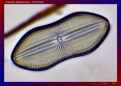 Diatomee (Diploneis spec.), Ost-Holstein-ca. 600x