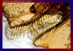 Honigbiene (Apis mellifera),Hinterbein - Körbchen