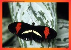 Passionsblumenfalter (Heliconius erato)