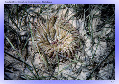 Sandgoldrose (Condylactis aurantiaca), Mittelmeer