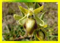 Spinnen-Ragwurz (Ophrys sphegodes var. flavescens