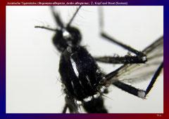 Asiatische Tigermücke (Stegomyia albopicta_Aedes albopictus), ♀, Kopf und Brust (Scutum)-ca. 30x