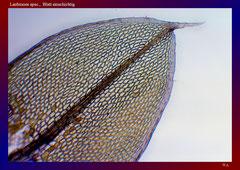 Laubmoos spec., Blatt einschichtig-ca. 120x