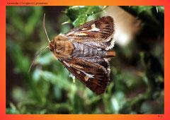 Graseule (Cerapteryx graminis)