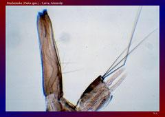 Stechmücke (Culex spec.) - Larve, Atemrohr