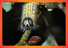 Mondfleck (Phalera bucephata)