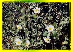 Gemeiner Wasser-Hahnenfuß (Ranunculus aquatilis)