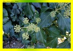 Efeu (Hedera helix), Blüten