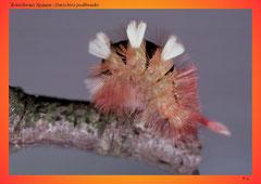 Rotschwanz Spinner (Dasychira pudibunda)