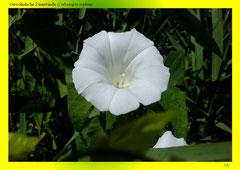 Gewöhnliche Zaunwinde (Calystegia sepium)