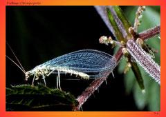 Forfliege (Chrysopa perla)