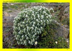 Marseille-Tragant (Astragalus massiliensis)