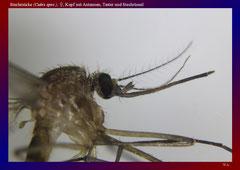 Stechmücke (Culex spec.), ♀, Kopf mit Antennen, Taster und Stechrüssel-ca. 20x