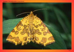 Spanner (Pseudopanthera macularia)