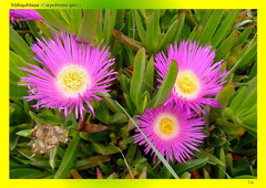 Mittagsblume (Carpobrotus spec.)