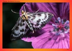 Zünsler (Eurrhypara hortulata)