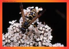 Feldwespe (Polistes spec.)