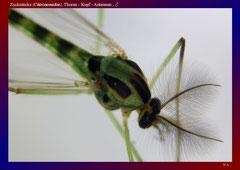 Zuckmücke (Chironomidae), Thorax - Kopf - Antennen , ♂ -ca. 20x