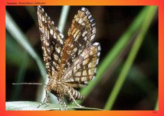 Spanner (Semiothisa clathrata)