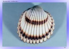 Herzmuschel (Cardium spec.)