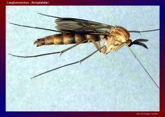 Langhornmücken (Keroplatidae)