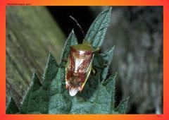 Stachelwanze (Acanthosoma spec.)