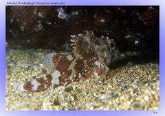 Madeira Drachenkopf (Scorpaena maderensis