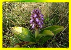 Orchidee (Himantoglossum robertianum)