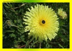 Schwefelkörbchen (Urospermum spec.)