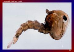 Stechmücke (Culex spec.) Puppe-ca. 20x