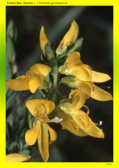 Deutscher Ginster ( ? Genista germanica)