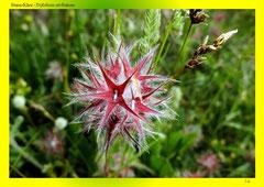 Stern-Klee (Trifolium stellatum)