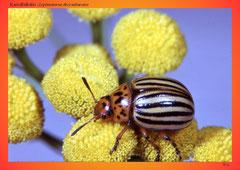Kartoffelkäfer (Leptinotarsa decemlineata)