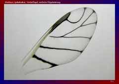 Blattlaus (Aphidoidea), Vorderflügel, einfache Flügeladerung-ca. 30x