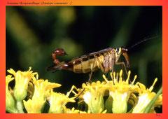 Gemeine Skorpionsfliege (Panorpa communis) ♂