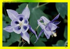 Wald-Akelei (Aquilegia vulgaris)