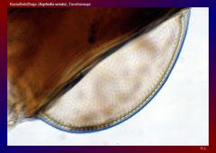Kamelhalsfliege (Raphidia notata), Facettenauge
