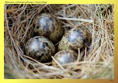 Bekassine (Gallinago gallinago), Nest+Gelege